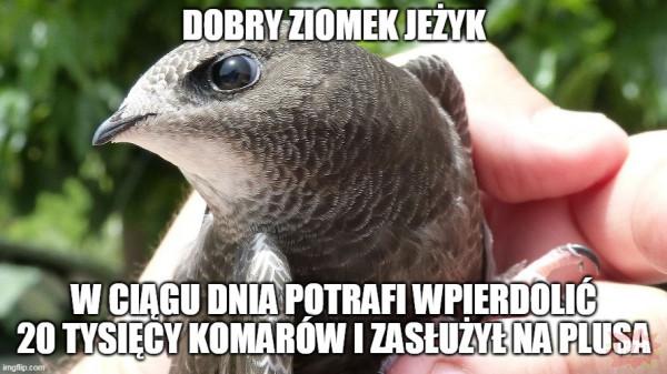 jeżyk